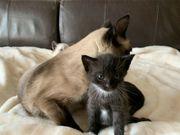 Siam-Perser Kitten
