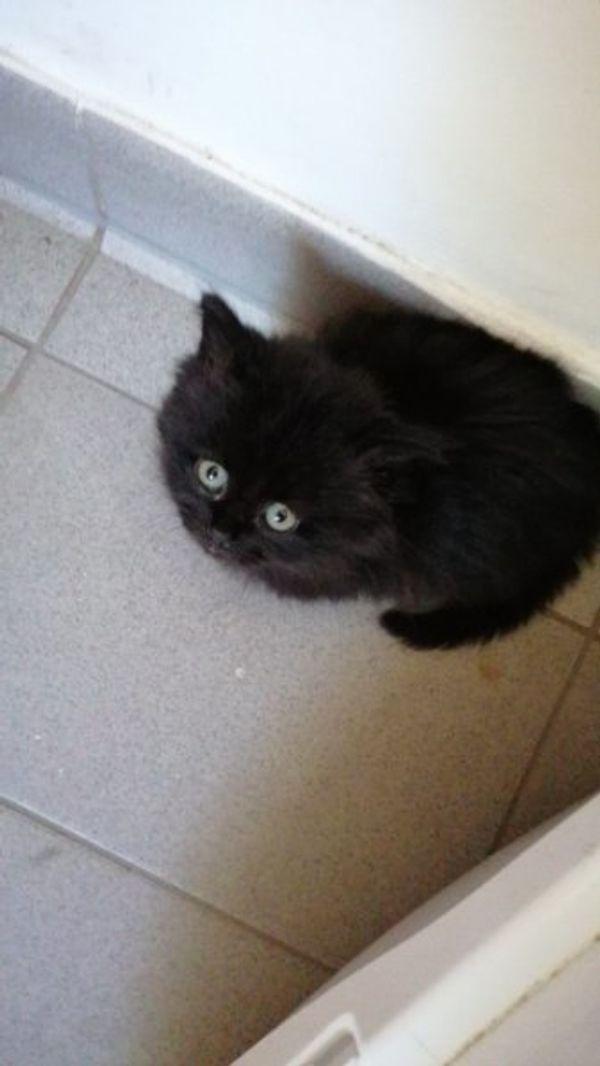 persische langhaar Katze baby