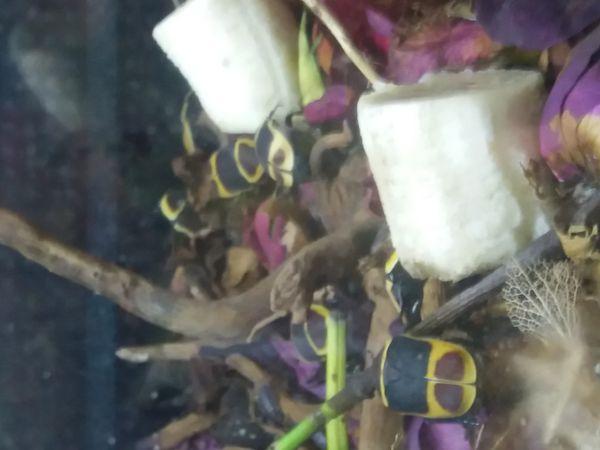 Rosenkäfer mit Becken komplett