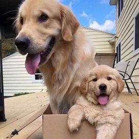 Golden Retriever Hunde Kaufen Verkaufen Auf Quoka De
