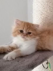 Wunderschöne Perser Katze Kater Kitten