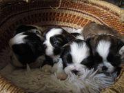 Hunde-Baby s Shih Tzu suchen