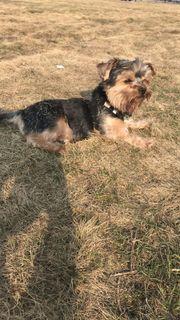 Yorkshire Terrier ROMEO SUCHT JULIA