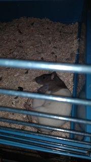 Dringend Ratten ab zu geben