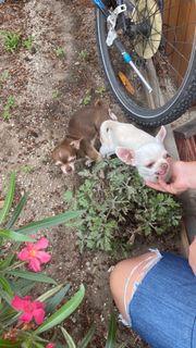 Chihuahua Wufankündigung mini tea cup