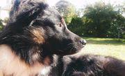 verspielter aufgeweckter kroat Schäferhund Mischlingsrüde