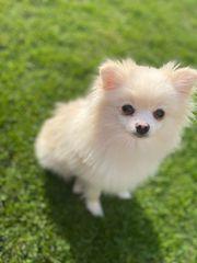 Süßes Pomeranian Mädchen