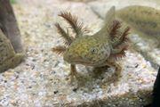 Axolotl Jungtiere Versand möglich BD
