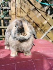 Zwergkaninchen Kaninchen Zwergwidder Widderkaninchen v