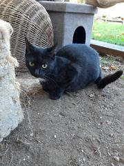 Katze Merle 4 Jahre kastriert