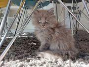 Mainecoon Kitten Kater mit Handicap