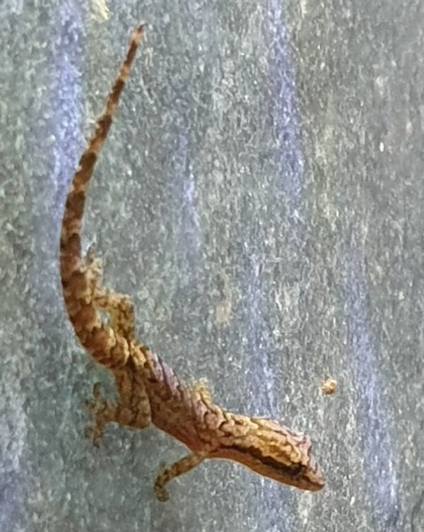 5-6 Jungferngecko Lepidodactylus lugubris Zwerggecko