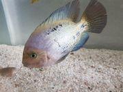 Verkaufe große Fische für Aquarium