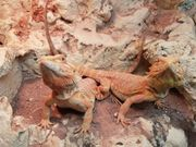 Bartagame Hypo red Leatherback Weibchen