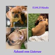 Französische Bulldoggen Welpen mit Ahnentafel