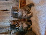 BKH und BLH Kitten abzugeben