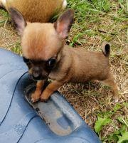 Chihuahua mini kurzhaar