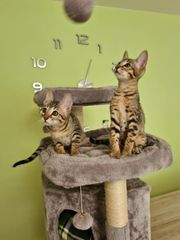 Bengal-Siam -mix Kitten