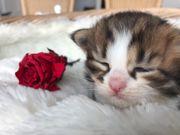 Sibirische Kitten Katzen suchen liebevolle
