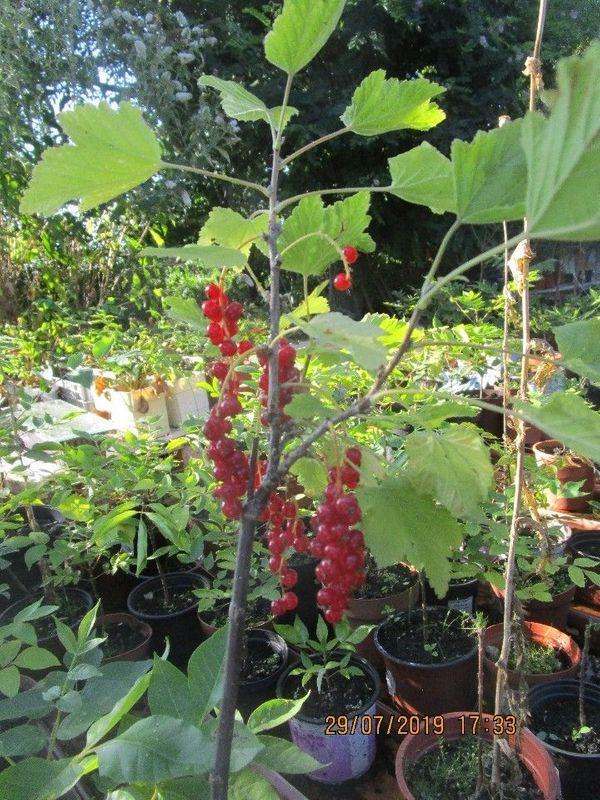 Johannisbeeren rot Bienen Garten Imkerei