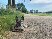 Französische Bulldogge Lilac Blue Merle