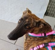 Laika Galgo-Mix Welpe PS in