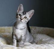 Elegante Burma-BKH-Bengal-Mix Katzenkinder suchen