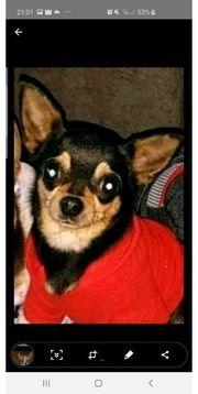 Chihuahua Hündin in black an