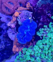 Meerwasser Tridacna türkis blaue Muschel