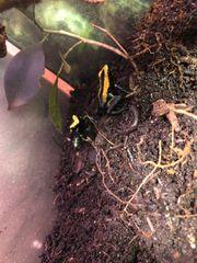Zweifarbiger Blattsteiger lat Phyllobates bicolor