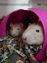 Topaz Rattenbabys sind gelandet D
