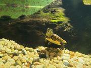 Südliche Zierschildkröte - Chrysemys picta dorsalis