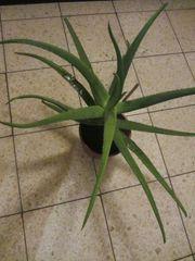 Zimmerpflanzen Philodendron Efeutute Begonie Aloe