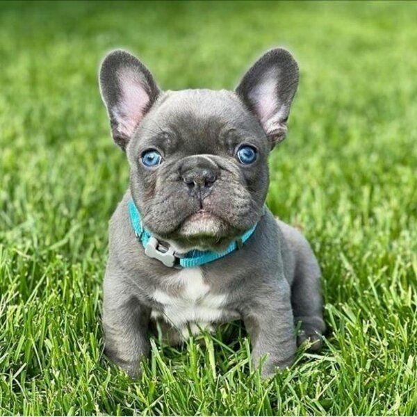 Shone Franzosische Bulldogge Welpen In Frankfurt Hunde Kaufen