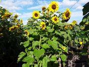 Sonnenblumensamen 25 Stück