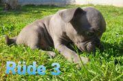 Sportliche Französische Bulldoggen Welpen mit