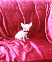 Reinrassige Chihuahua Welpe Rüde