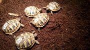 Griechische Landschildkröten Thb aus 2019