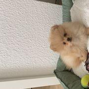 Pomeranian Boo welpe