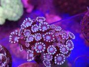 Meerwasser Ableger von Martins Korallenwelt-