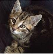 Wunderschöner Kätzchen 12 Wochen