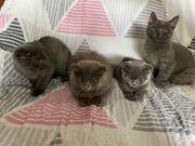 BKH BLH Scottish Fold Katzenbabys