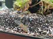 Axolotl Jungtiere und Aquarium