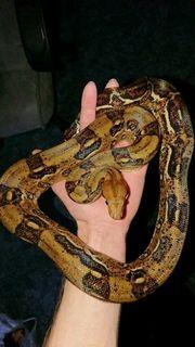 Boa constrictor imperator Honduras