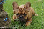 Typvolle Französische Bulldoggen Welpen