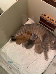 BKH Kitten suchen ein neues