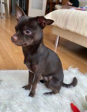 Chihuahua Rüde schokobraun
