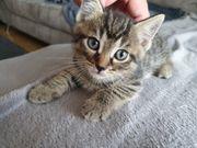 Ekh Scottish Fold Mix Kitten