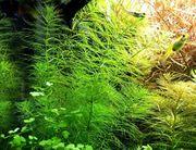 Guyana T -Blatt RARITÄT Aquarienpflanzen