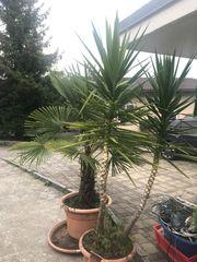 Palmen zu verkaufen